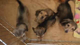 Dachshund Puppies Longhair
