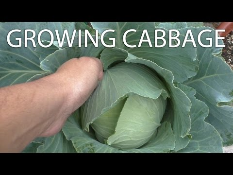 , title : 'Growing Cabbage - Tips & Harvest