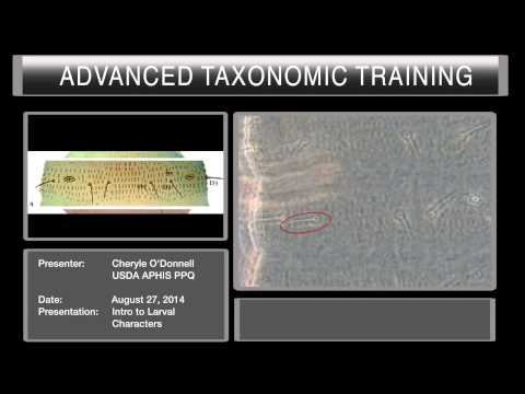 Introduction to thrips larval characteristics