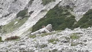 Live-Video: Murmeltierchen am Steinernen Meer