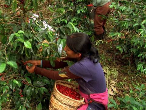 Colombia Coffee Harvest