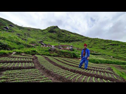 Organic Radish Farming in Hillside Nepal || Countryside Farming Nepal ||Radish Cultivation in Nepal