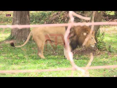 Rampaging lion shot dead by UWA staff