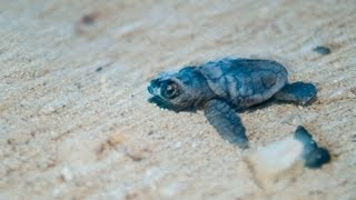 preview picture of video 'Baby Turtles being released'