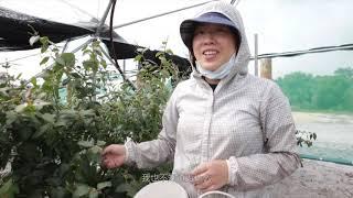我在澳洲打工度假 纪录片第一集 蓝莓女王 上集