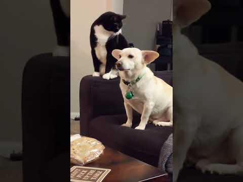 A cat thinks long before hitting a dog