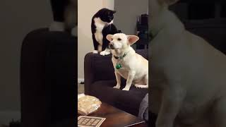 Sitting on the arm of a sofa, Ruta the cat wonders how he can bother Howie the dog. After long seconds of reflection, the cat has made its decision, it will give a paw in the ear of the dog. A scene that made their master laugh a lot.