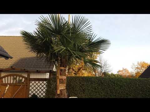 Winterschutz für Palmen im Freiland / Seit 9 Jahren ausgepflanzt / Fehler vermeiden