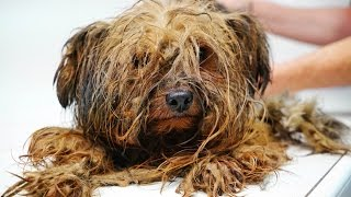 Download Youtube: Amazing transformation of a Yorkie used at a puppy mill for breeding his entire life