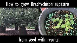 How To Grow Brachychiton Rupestris (queensland Bottle Tree) From Seed With Results