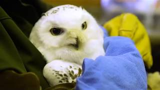 Snowy Owl Wellness Exam at Northwest Trek Wildlife Park