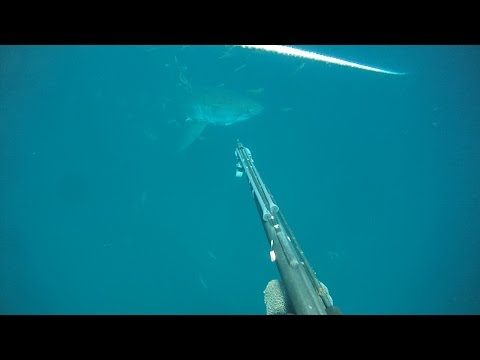 Great White  sneaks up on Grayson Shepard in Gulf of Mexico Extended Version