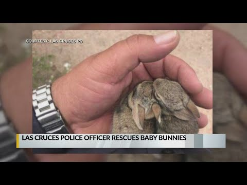 Las Cruces police officer rescues pair of baby bunnies