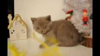 британский лиловый котенок в пит-ке Бритиш Хаус.AVI