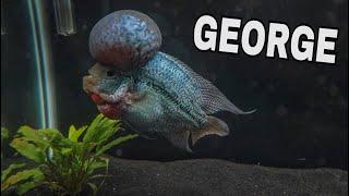 MEET GEORGE My $500 FLOWERHORN!!!