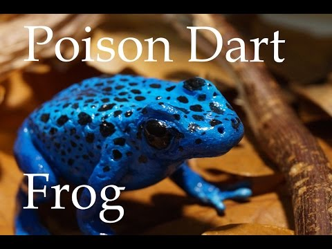 Pfeilgiftfrosch - Poison Dart Frog | Polymer Clay