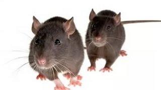 Как избавиться от мышей, фантастика!