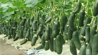 WOW WOW! Amazing Agriculture Technology    Cucumbers (Part 1)