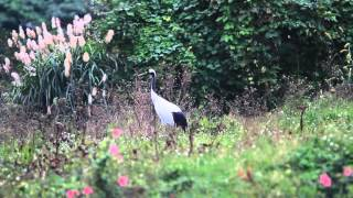 Red-crowned crane 丹頂鶴