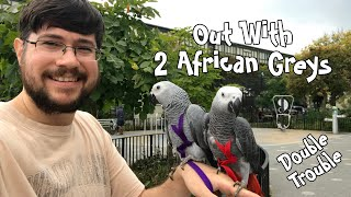 Taking 2 African Greys Outside Together