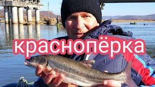 Улов ру рыбалка в приморье красноперка