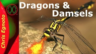 All About Dragonflies And Damselflies