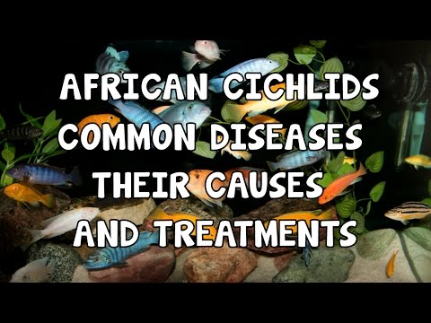 Video AFRICAN CICHLIDS│COMMON DISEASES│CAUSES & TREATMENTS