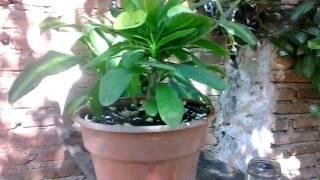 Como Abonar La Planta Corona De Cristo/Flowers Crown Of Christ The Farm And Tree
