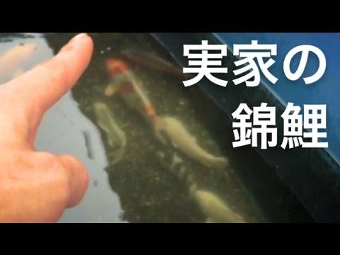 【リクエスト】実家のニシキゴイの名前紹介!