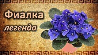 Почему Фиалка - цветок одиночества? Легенды и Мифы о Фиалке.