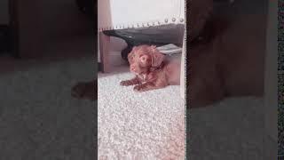 English Springer Spaniel Puppies Videos