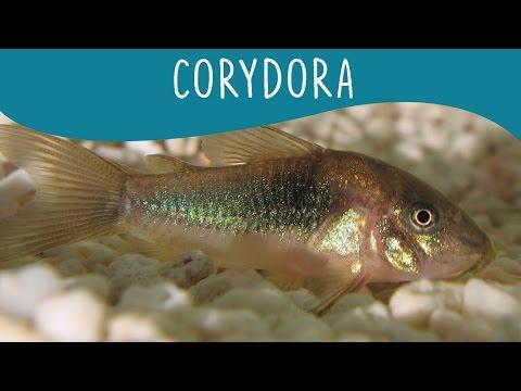 Corydora - Minha Fauna