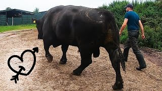 This HUGE BULL Has A LOVE HEART TATTOO!! - How To Trim Bulls Feet   The Hoof GP