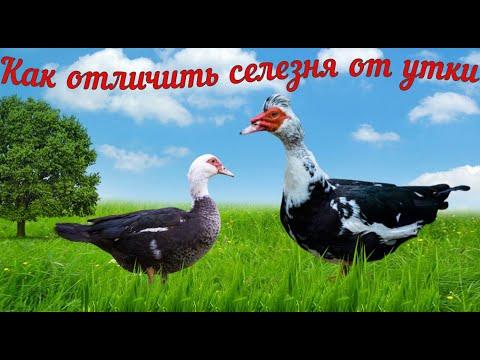 , title : 'Как отличить селезня от утки.Обрезка крыльев.