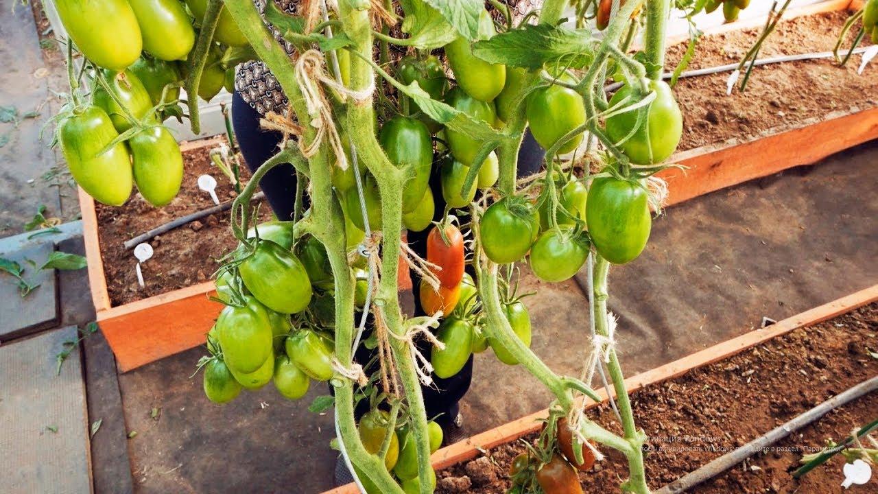 урожайный огород с татьяной пикировка томатов