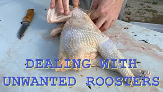 BUTCHERING UNWANTED ROOSTERS (GRAPHIC)