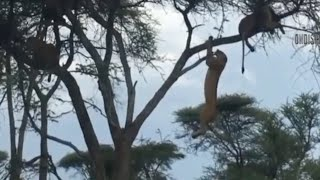 Monkey Climb Up On the Tree To Escape from the Lion