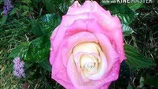 Роза после дождя.Холодный фарфор.Ручная работа. фото