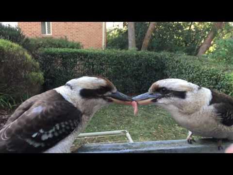 Kookaburras don't compromise
