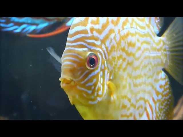 Discus Fish Secrets, Discus Fish Care And Breeding