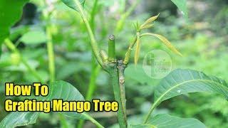 How To Grafting Mango Tree