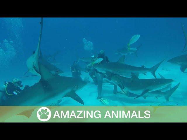 غواصون يطعمون سربا من القروش في عمق البحر