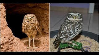 The difference between LITTLE OWLS & BURROWING OWLS
