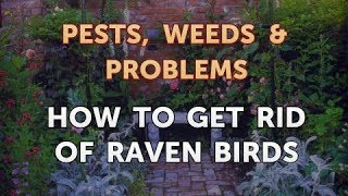 How to Get Rid of Raven Birds