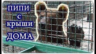Бесстыжий МЕДВЕДЬ / ПИПИ с КРЫШИ ДОМА / Shameless BEAR