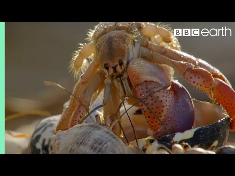 Hermit crabs line up biggest to smallest to exchange shells, and it's amazing