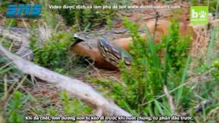 Trăn đá châu Phi nuốt trọn linh dương con (Dịch & phụ đề bởi Dịch Thuật SMS)