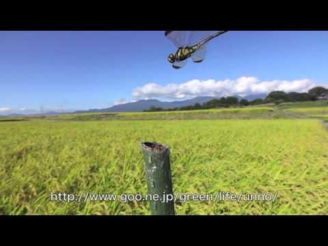 ノシメトンボの飛翔と産卵スーパースロー
