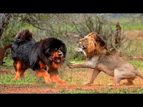 Epic Battle Real Fight Dog Vs Tiger, Lion Vs Dog, Real Fight To Death, Most Amazing Wild Videos