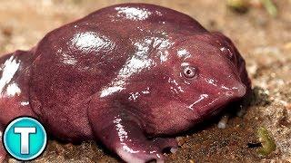 Pig Nosed Frog | World's Weirdest Animals